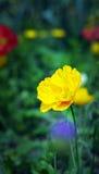 Tulip. The beautiful summer fresh flower the tulip,Tropical flower park beautiful beautiful Stock Image