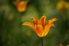 Tulip. Beautiful tulips, stunning tulips, tulips in the Sun, beautiful tulips Royalty Free Stock Photos