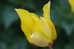 Tulip. Beautiful yellow tulip close-up photo Stock Photos