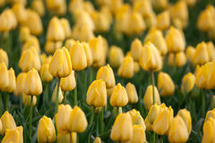 Tulip. Beautiful yellow tulips flowers in spring garden, floral background Stock Image