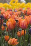 Tulip Beauty. A perspective view of a field of tulips royalty free stock photo