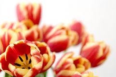 Tulip, beauty ensemble Stock Image