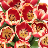 Tulip Beauty Royalty Free Stock Photography