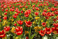 Tulip bed. Red tulips and yellow flowers with green leaves in a sunlit bed Stock Photos