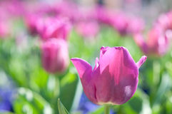 Tulip Bed. In the Smithsonian Castle Garden Stock Images