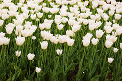 Tulip bed in bloom Royalty Free Stock Photos