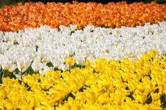 Tulip bed like a flag Royalty Free Stock Photos