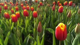 Tulip bed Royalty Free Stock Image