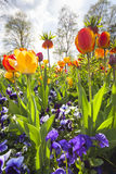 Tulip bed in a park Stock Image