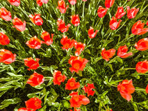Tulip efflorescence. Efflorescence of tulips. Red flowers on a green background stock photo