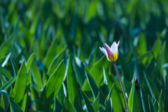 Tulip. Bed of tulips with one flower dissolved Royalty Free Stock Photography
