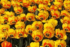 Tulip bed with yellow flowers Stock Photography