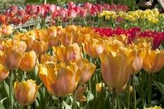 Tulip Beds Foto de Stock Royalty Free