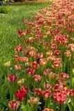 Tulip Beds Fotos de Stock