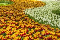 Tulip Beds Stock Foto