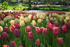 Tulip Beds Royalty Free Stock Image