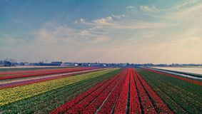 Tulip beds at Keukenhof. Rows of tulips in beds at Keukenhof in Lisse, Netherlands stock image