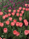 Tulip in  Beijing Botanical Garden. Narcissus in  Beijing Botanical Garden in spring Stock Images