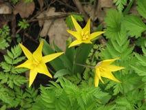 Tulip Of Bibershtejna Royalty-vrije Stock Afbeeldingen