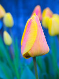 Tulip Bicolor. Pink and yellow tulip with three little drops on a blue background Royalty Free Stock Images