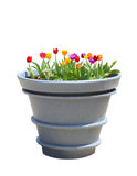 Tulip Big Pot Stock Photo