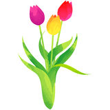 Tulip - birth flower vector illustration in watercolor paint  Stock Photos