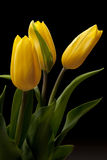 Tulip. On the black background Stock Photography