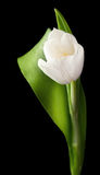 Tulip is  on black Royalty Free Stock Images