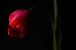 Tulip on black background Royalty Free Stock Image