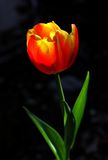 Tulip on a black background Royalty Free Stock Photography