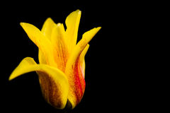 Tulip bloom Stock Photography