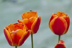 Tulip bloom Royalty Free Stock Photos