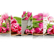 Tulip Bloom Mix Royalty Free Stock Photography