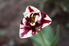 Tulip bloom. Red white green Stock Images