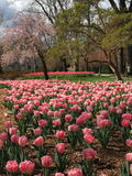Tulip bloom in urban park Stock Images