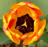 Tulip. Blooming with colorful petals Stock Image