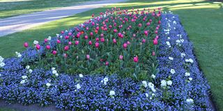 Tulip blooming flowers forming a rectangular bed. Beautiful spring scene including tulip blooming flowers forming a rectangular bed and green grass in a well stock photography