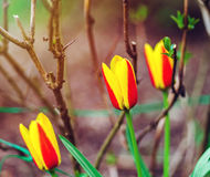 Tulip blooming in the garden, spring Royalty Free Stock Photos