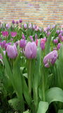 Tulip blooming in Rayong Province , Thailand Royalty Free Stock Photos