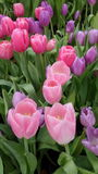 Tulip blooming in Rayong Province , Thailand Stock Photos