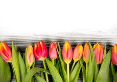 Tulip blooms Royalty Free Stock Photography
