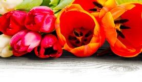 Tulip blooms Royalty Free Stock Image