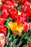 Tulip Blooms amarela no campo do vermelho imagens de stock royalty free