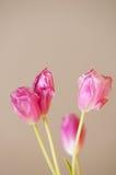 Tulip blooms Stock Image
