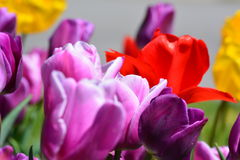 Tulip blooms Stock Photography