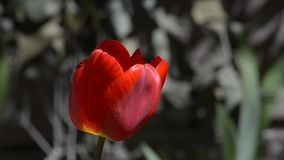 Tulip blooms in nature. Blooming red Tulip in the spring stock footage