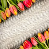 Tulip blooms Stock Images