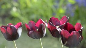 Tulip blooms in spring. Beautiful tulips bloom in the spring stock footage