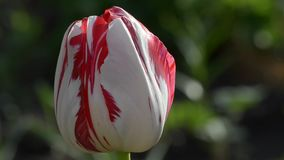 Tulip blooms in spring. Beautiful tulips bloom in the spring stock video