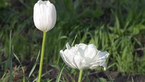 Tulip blooms in spring. Beautiful tulips bloom in the spring stock video footage